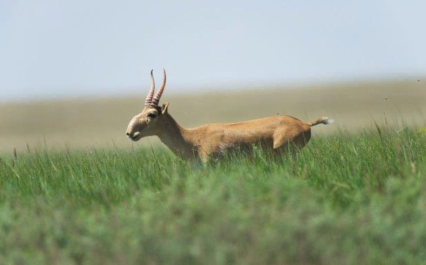 How to protect crops from wild saiga raids, said at the Ministry of Ecology of Kazakhstan